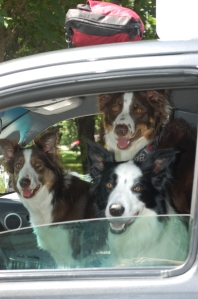 The performing dogs arriving. They drove themselves.